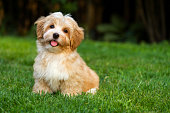 Happy little orange havanese puppy is sitting in the grass