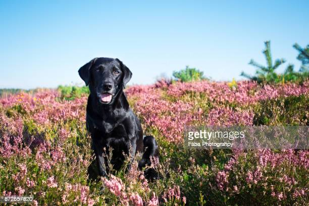 happy looking dog - labrador preto imagens e fotografias de stock