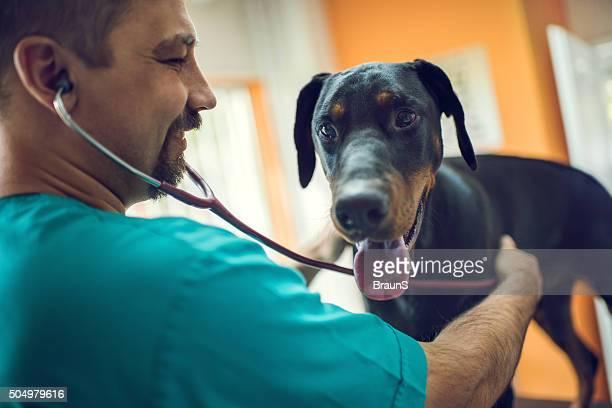 Happy male veterinarian examining a Doberman with stethoscope.