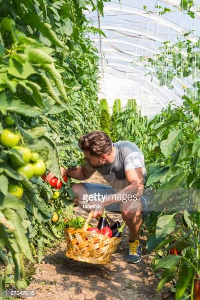 温室でトマトと野菜のバスケットを持つ幸せな男 - スマート農業 ストックフォトと画像