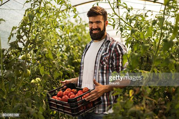Happy man with a basket of tomatoes in greenhouse.