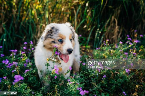 happy mini australian shepherd puppy playing in purple flowers - australian shepherd puppies stock pictures, royalty-free photos & images
