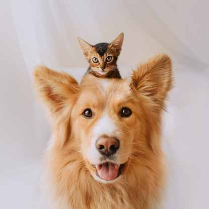 happy mixed breed dog posing with a kitten on his head 1210341751