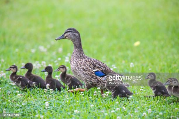 happy mother's day - duckling stock pictures, royalty-free photos & images
