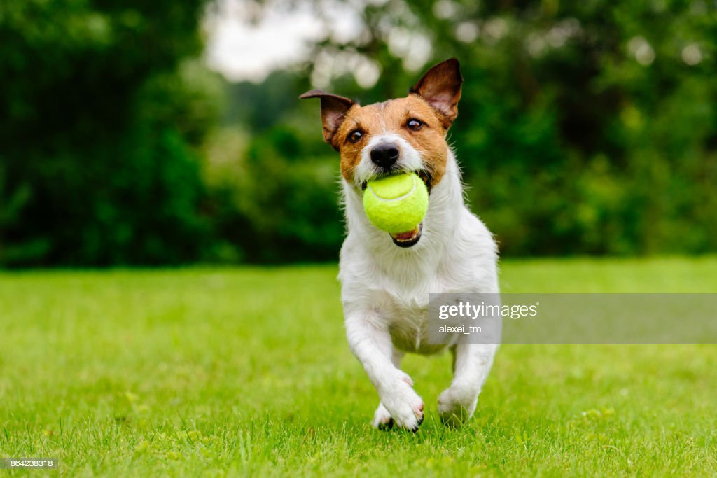 Happy pet dog playing with ball on green grass lawn : Stock Photo