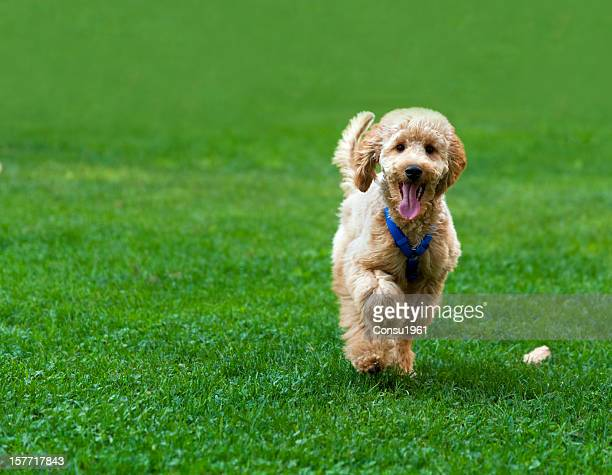 happy - standard poodle stock photos and pictures