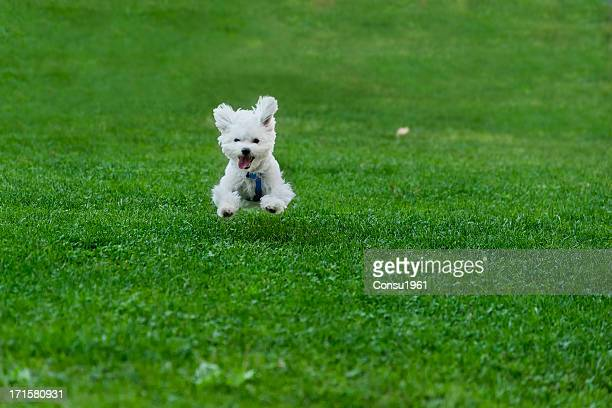 happy - maltese dog stock pictures, royalty-free photos & images