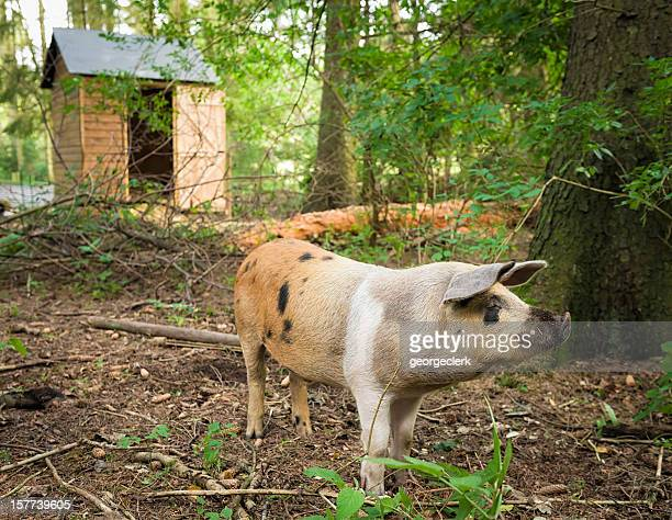 Happy Pig in a Forest