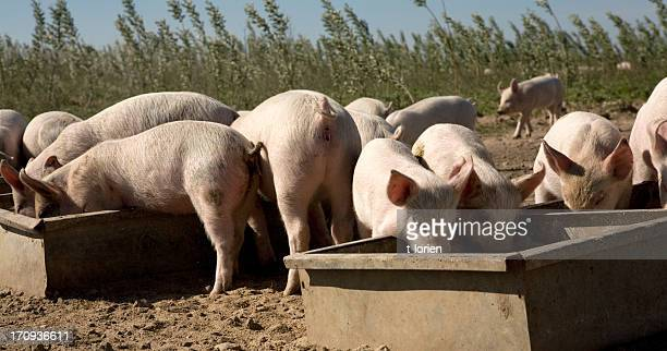 Happy piglets feeding at their troughs on a sunny day