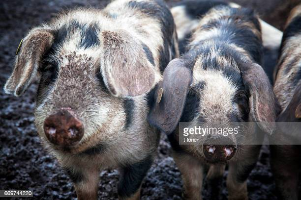 happy piglets on an organic farm in denmark. - mrsa stock photos and pictures