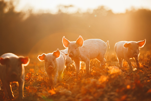Happy piglets playing in leaves at sunset 663492274