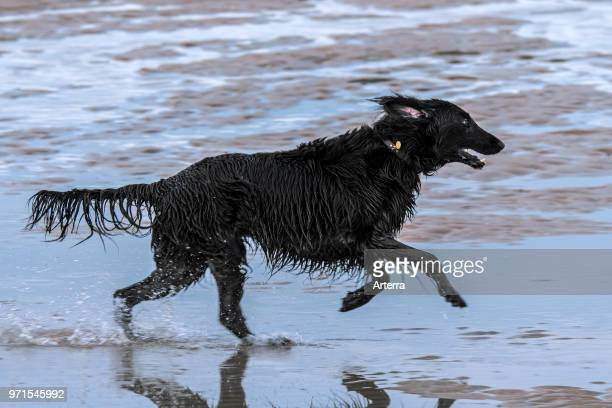 Happy playful black Belgian Shepherd dog with soaking wet fur running through water of puddle on sandy beach along the North Sea coast.