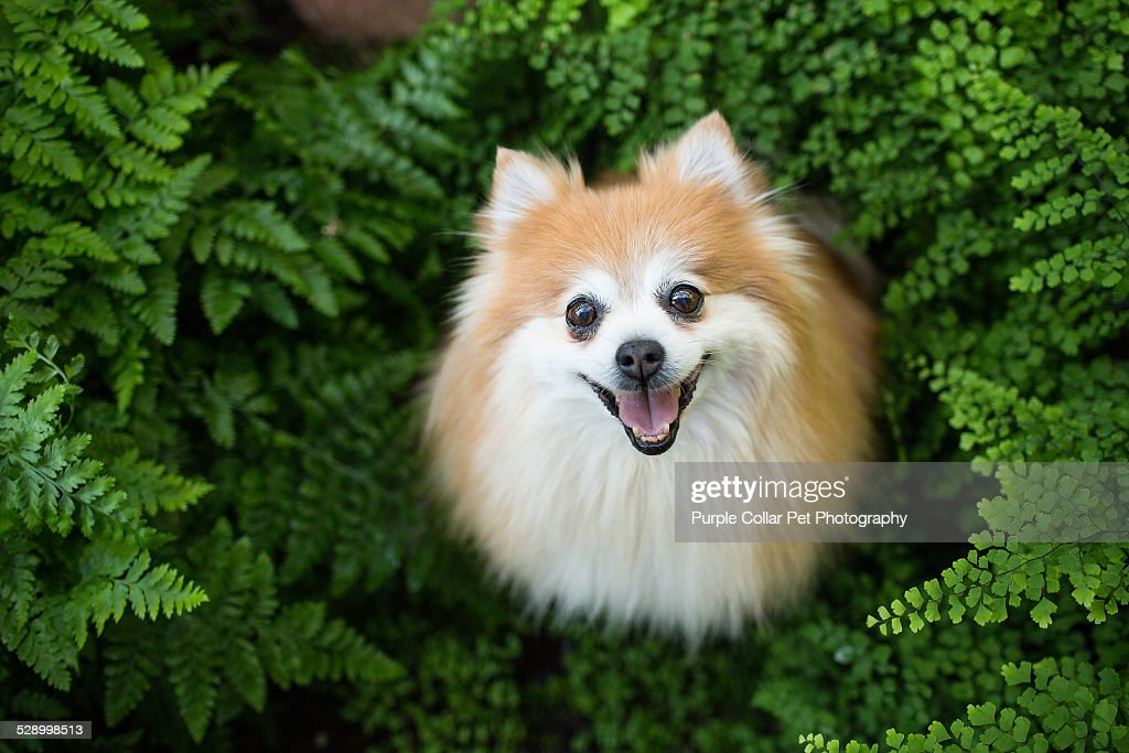 Pomeranian stock photos and pictures getty images happy pomeranian dog sitting in ferns looks upward altavistaventures Images