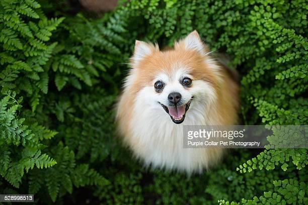 happy pomeranian dog sitting in ferns looks upward - pomeranian stock photos and pictures
