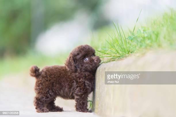 happy poodle puppy - caniche toy photos et images de collection