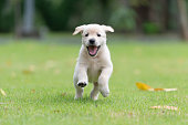 Happy puppy dog running on playground green yard