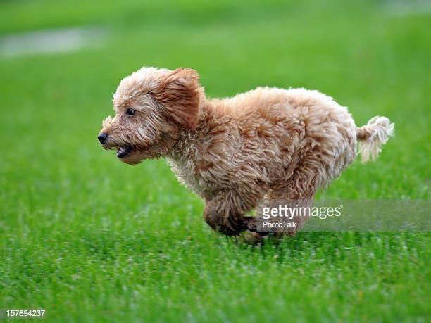 Happy Puppy schnell laufen auf Gras-XL