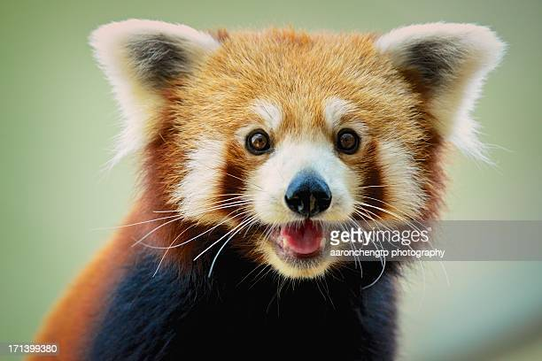 happy red panda - red panda stock pictures, royalty-free photos & images
