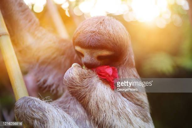happy, rescued sloth - meme stock pictures, royalty-free photos & images