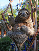 Happy, rescued Sloth
