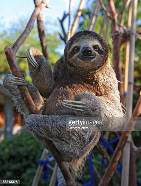 happy, rescued sloth - funny animals stock pictures, royalty-free photos & images