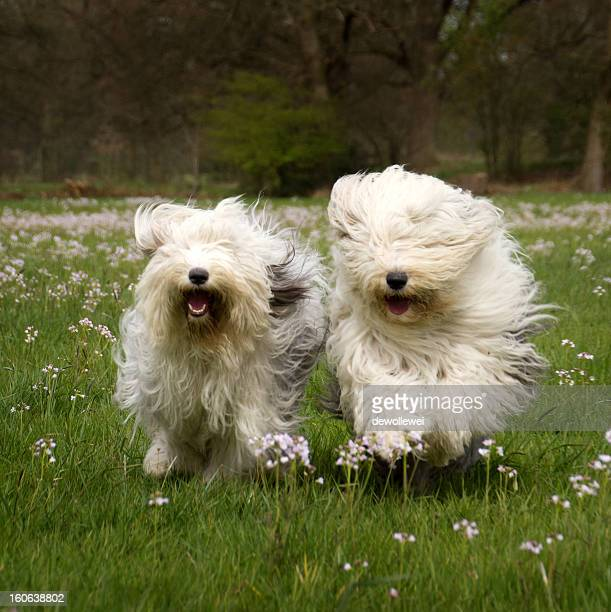 happy run.. - old english sheepdog stock pictures, royalty-free photos & images