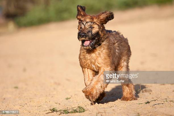 happy running fauve briard puppie! - briard stock photos and pictures