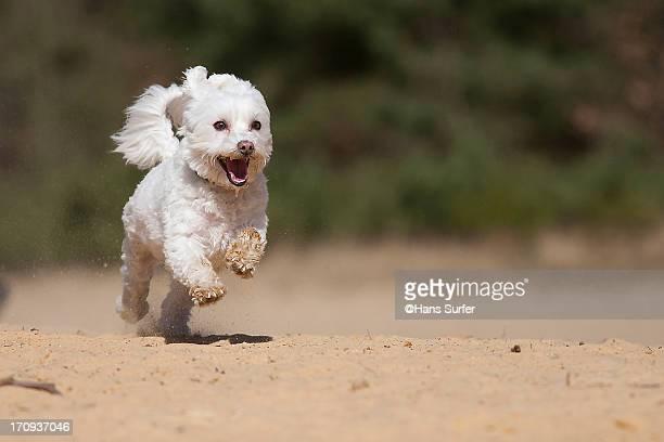 Happy running Malteser