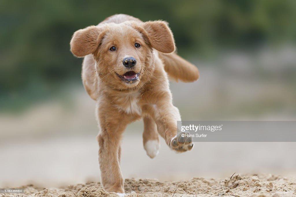 Happy running Toller on one feet : Stock Photo