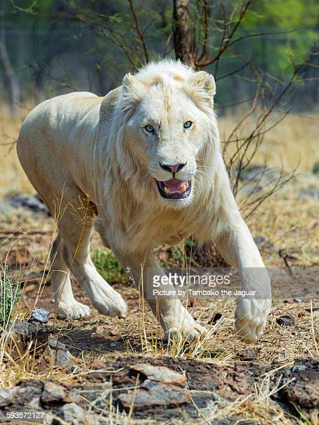 happy running white lion - white lion stock photos and pictures