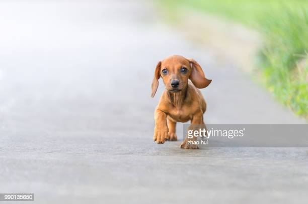 happy sausagedog puppy - hound stock pictures, royalty-free photos & images