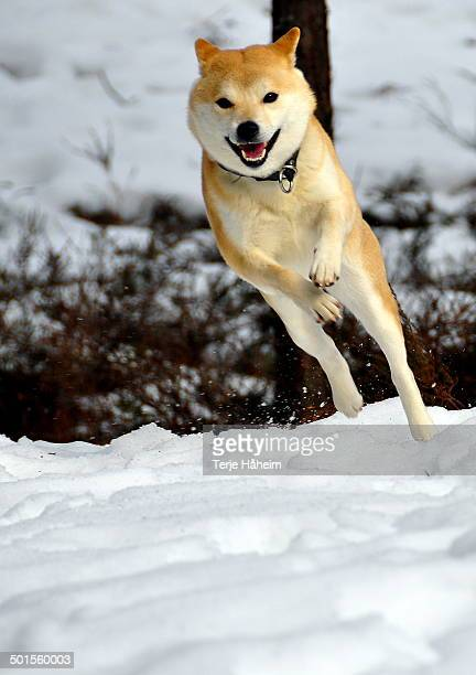 happy shiba inu - shiba inu winter stock pictures, royalty-free photos & images
