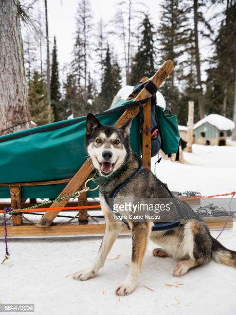 Happy Sled Dog