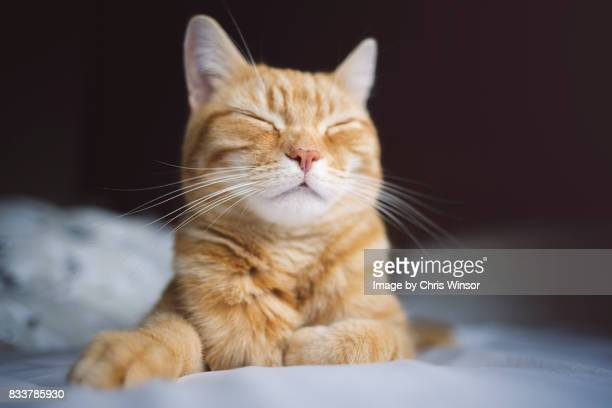 happy sleeping ginger cat - domestic cat stock pictures, royalty-free photos & images