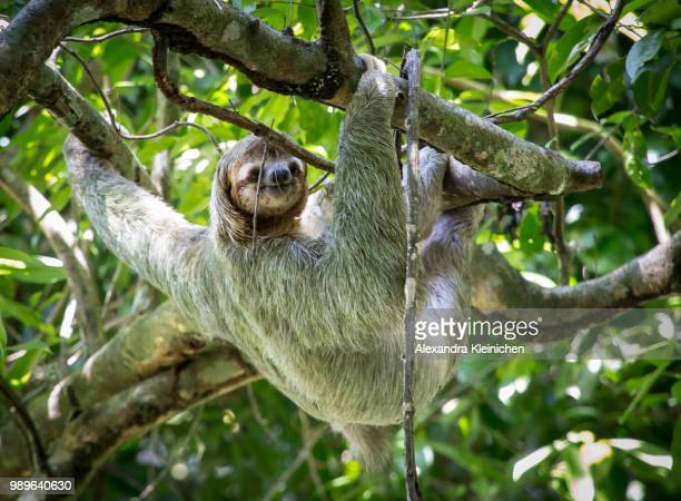 happy sloth in costa rica - three toed sloth stock photos and pictures