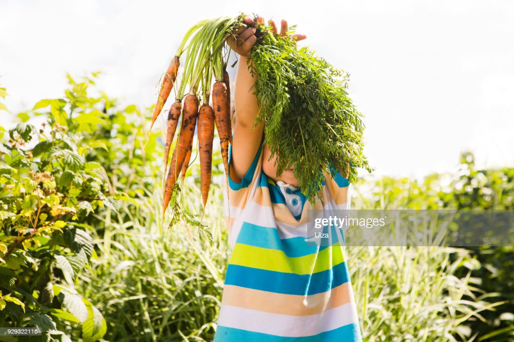 Happy smiling kid boy holding organic carrots outdoors of farm. Boy having fun with  gardening  and helping : Stock Photo
