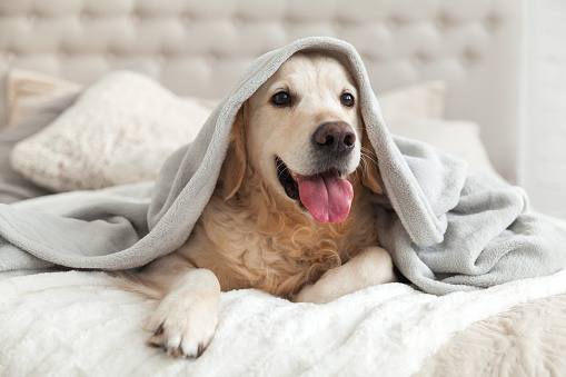 Happy smiling young golden retriever dog under light gray plaid. Pet warms under a blanket in cold winter weather. Pets friendly and care concept. 1059650734