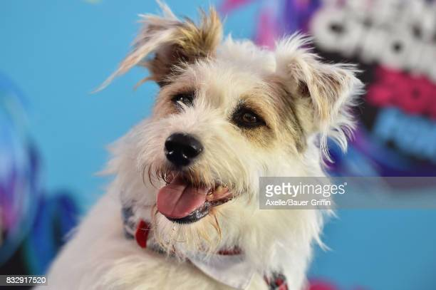 Happy the Dog arrives at the Teen Choice Awards 2017 at Galen Center on August 13 2017 in Los Angeles California