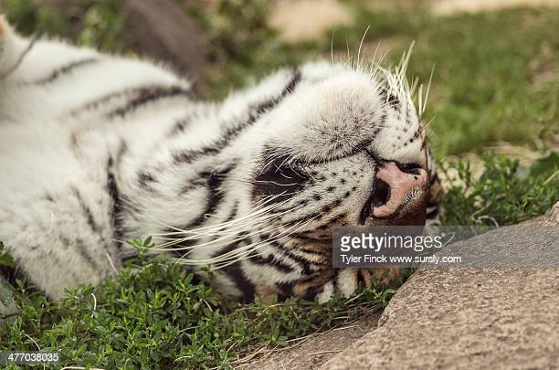 happy tiger - sursly stock pictures, royalty-free photos & images