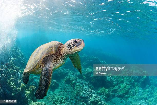 happy turtle - sea turtle stock pictures, royalty-free photos & images