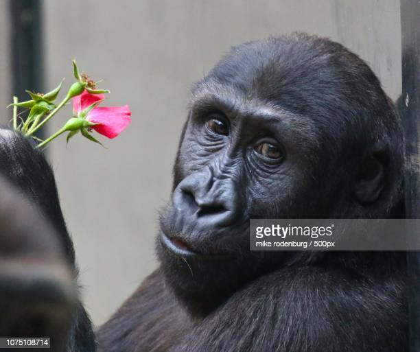 happy valentine - valentine monkey stock pictures, royalty-free photos & images