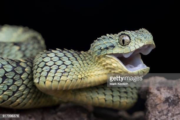 Happy Venomous Bush Viper Snake
