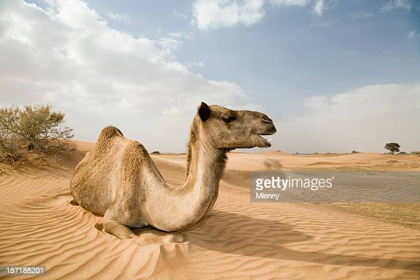 happy wild camel dromedary yawning