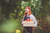 Happy Woman Picking Ripe Tomatoes