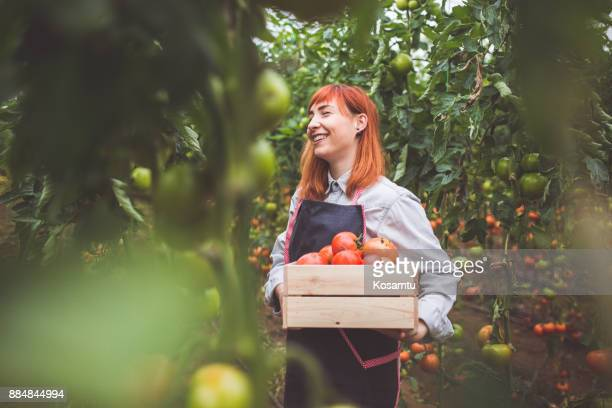 happy woman picking ripe tomatoes - agricoltura foto e immagini stock