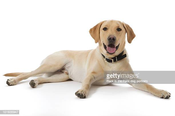 Happy yellow lab sitting on white