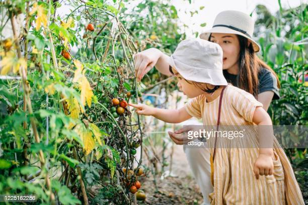 Happy young Asian family experiencing agriculture in an organic tomato farm. Mother teaching little daughter to learn to respect the Mother Nature