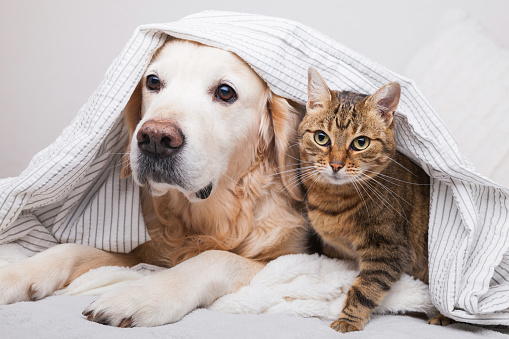 Happy young golden retriever dog and cute mixed breed tabby cat under cozy  plaid. Animals warms under gray and white blanket in cold winter weather. Friendship of pets. Pets care concept. 1185878014