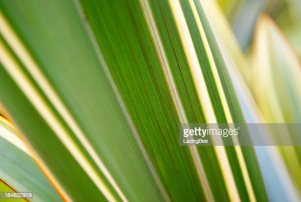 Harakeke Leaves (New Zealand Flax)