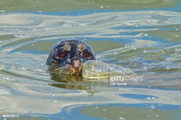 harbor seal and plastic water bottle - seal animal stock pictures, royalty-free photos & images